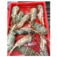 Raw Lobster Green