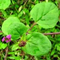 High Quality  Boerhavia Diffusa Plant Extract