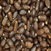 99% Pure Jatropha Seeds