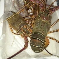 Frozen Green Lobster