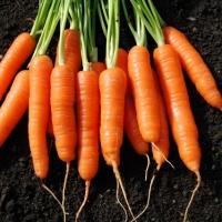 Natural Fresh Carrots From Vietnam