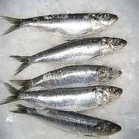 Frozen Sardine Fish Sea Fish Food For Bait