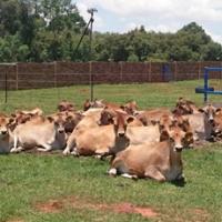 Jersey Heifers Calf