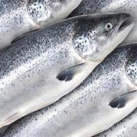 Whole Frozen Salmon Fish For Sale