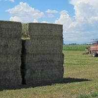 Alfalfa Hay For Animal Feeding
