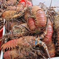 Red Spiny Lobster (Panulirus Penicillatus)