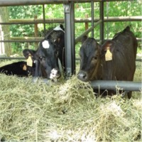 Alfalfa Hay For Cattle