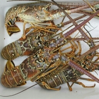 Lobster Indonesia Origin