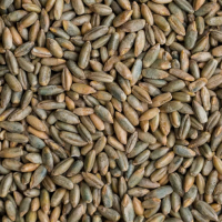 Organic Farm Rye grain