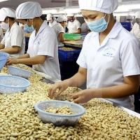 Quality Cashew Nuts Kernels