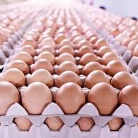 Hatching Fresh Chicken Table Eggs