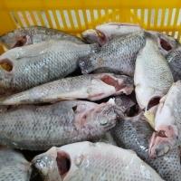 Black Tilapia Fish