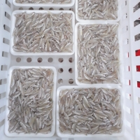 Frozen River Anchovy Fish