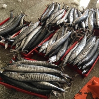 Frozen King Fish (Wahoo/Spanish Mackerel)