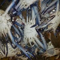 Chilled Blue Swim Crab