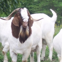 Full Blood Boer Goats