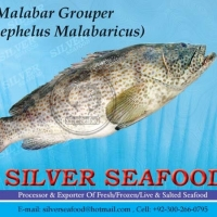 Malabar Grouper(Epinephelus Malabaricus)