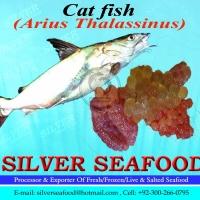 Cat Fish, Arius Thalasssinus