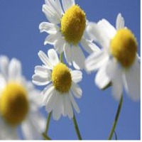 Chamomile Essential Water