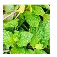 Mint Leaves Fresh