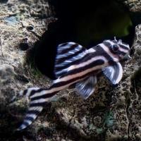 Zebra Pleco Aquarium Fish