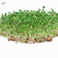 Broccoli Microgreens