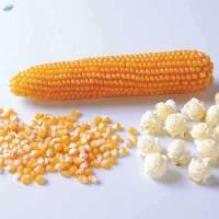 Pop Corn Kernels