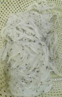 Frozen Silver Fish