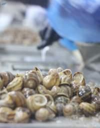 Helix Aspersa/frozen Snails Fillet